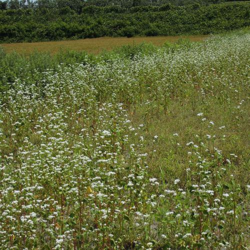 夏蕎麦の花