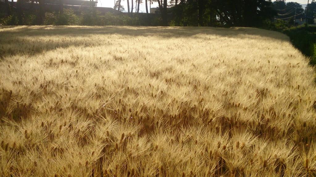 朝日に映える麦畑